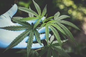 Manuel Gava Cannabislegalisierung